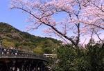 伊勢桜.jpg